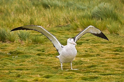 Wandering albatross stretching wings, Prion Island, Diomedea exulans, South Georgia Island
