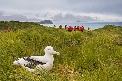 Tourists and wandering albatross, Diomedea exulans, Prion Island, South Georgia Island