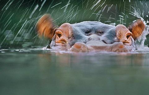 Hippo wiggling ears, Hippopotamus amphibius, Garamba National Park, Congo, DRC, Democratic Republic of the Congo