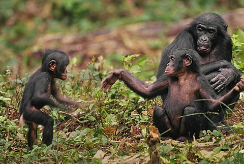 Young bonobo gesturing to infant to play, Pan paniscus, Congo, DRC, Democratic Republic of the Congo