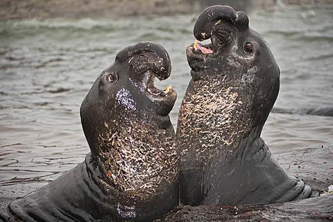 Elephant seals sparring, Mirounga angustirostris, Ano Nuevo Island, Monterey Bay, California