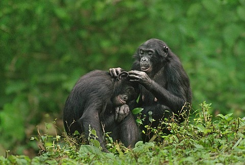 Female bonobo grooming son, Pan paniscus, Congo, DRC, Democratic Republic of the Congo