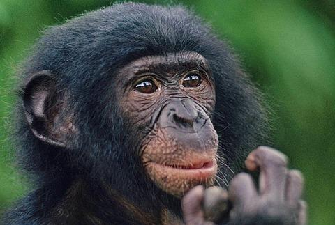 Bonobo juvenile, Pan paniscus, Congo, DRC, Democratic Republic of the Congo
