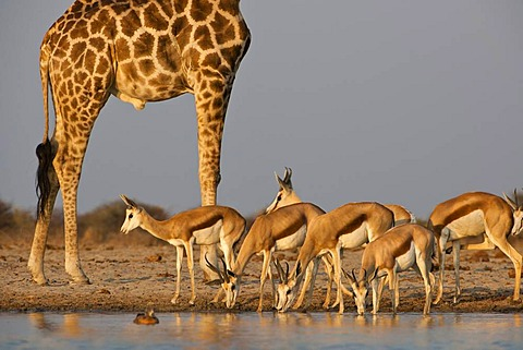 Giraffe, Giraffa camelopardalis, and springbok, Antidorcas marsupialis, at waterhole, Etosha National Park, Namibia