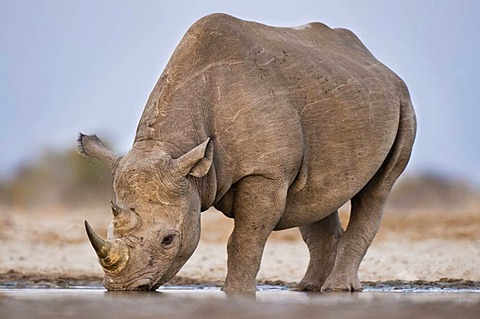Black rhino drinking at waterhole, Diceros bicornis, Etosha National Park, Namibia