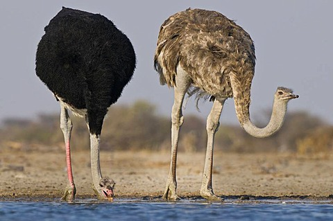 Ostrich couple drinking at waterhole, Struthio camelus, Etosha National Park, Namibia