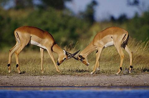 Impala males sparring, Aepyceros melampus, Okavango Delta, Botswana