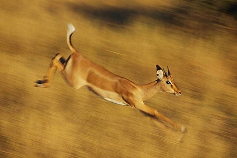 Impala female running, Aepyceros melampus, Chobe National Park, Botswana