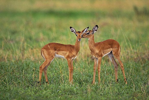 Impalas fawns, Aepyceros melampus, Okavango Delta, Botswana