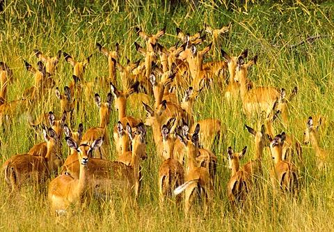 Impalas in tall grass, Aepyceros melampus, Okavango Delta, Botswana