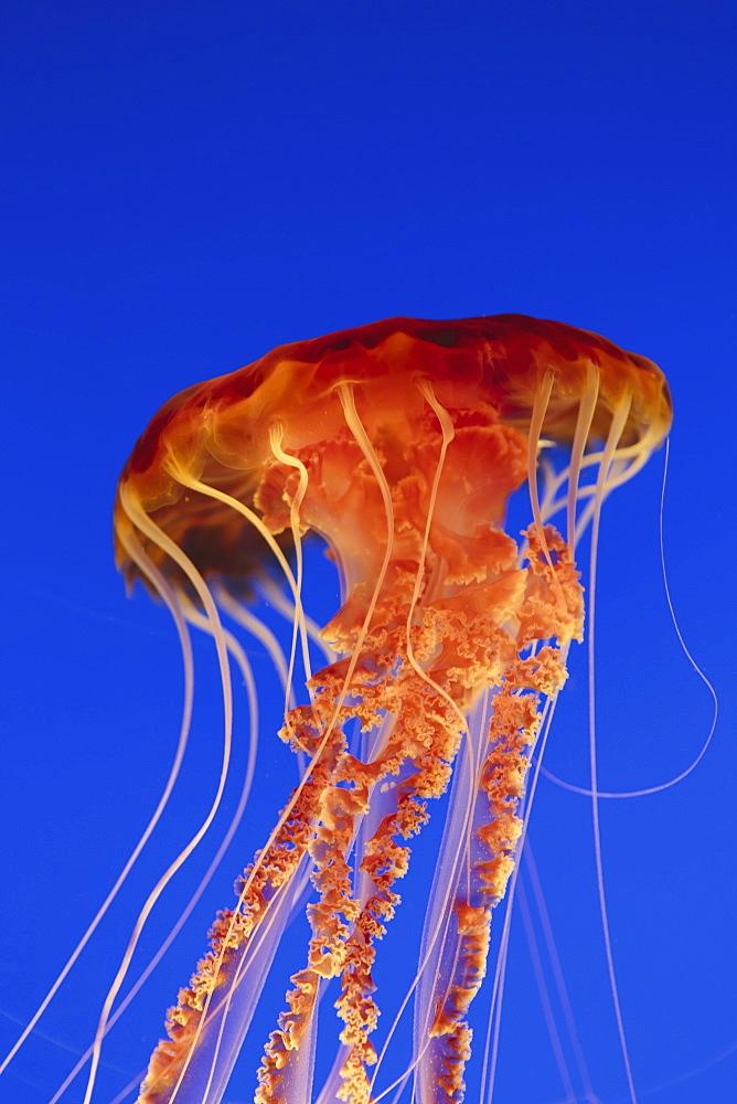 Black sea nettle jellyfish, Chrysaora fuscescens,scyphozoa, underwater in the Monterey Bay Aquarium, Monterey County, California, USAUSA