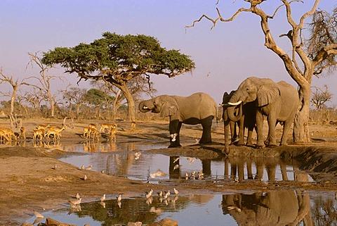 African elephants, Loxodonta africana, impalas, Aepyceros melampus, and ring-necked doves, Streptopelia capicola, Chobe National Park, Botswana
