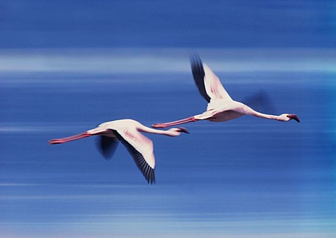 Greater flamingoes in flight, Phoenicopterus roseus, Lake Nakuru National Park, Kenya