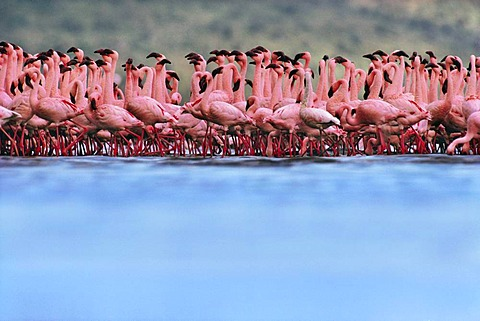 Lesser flamingo mass courtship, Phoenicopterus minor, Lake Nakuru National Park, Kenya