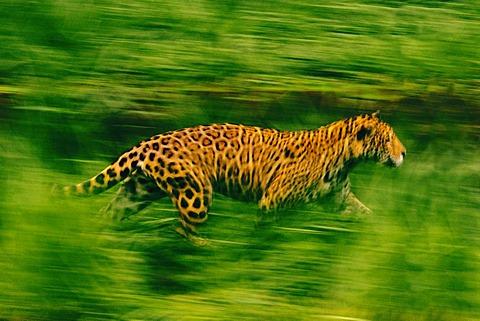 Jaguar running, Panthera onca, Brazil