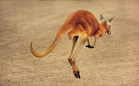 Red kangaroo in motion, Macropus rufus, Finke Gorge National Park, Australia