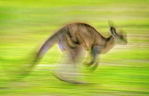 Gray kangaroo in motion, Macropus giganteus, Murramarang National Park, Australia