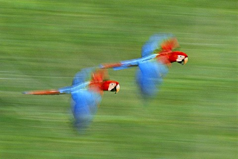 Red-and-green macaws in flight, Ara chloroptera, Tambopata National Reserve, Peru