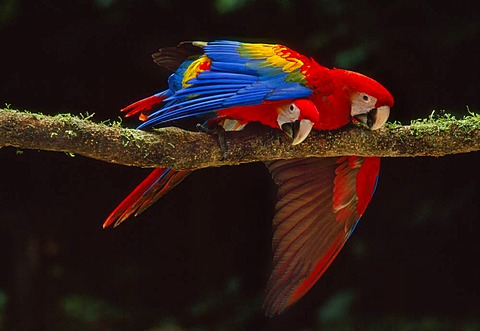 Scarlet macaws playing, Ara macao, Tambopata National Reserve, Peru