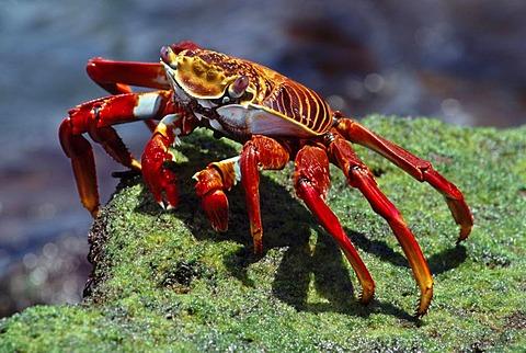 Sally lightfoot crab feeding on algae, Grapsus grapsus, Galapagos Islands