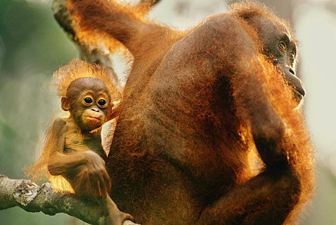 Bornean orangutan mother and young, Pongo pygmaeus, Sepilok Reserve, Sabah, Borneo