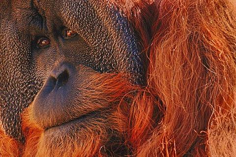Bornean orangutan, Pongo pygmaeus, Borneo
