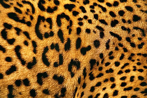 Jaguar fur, Panthera onca, Belize