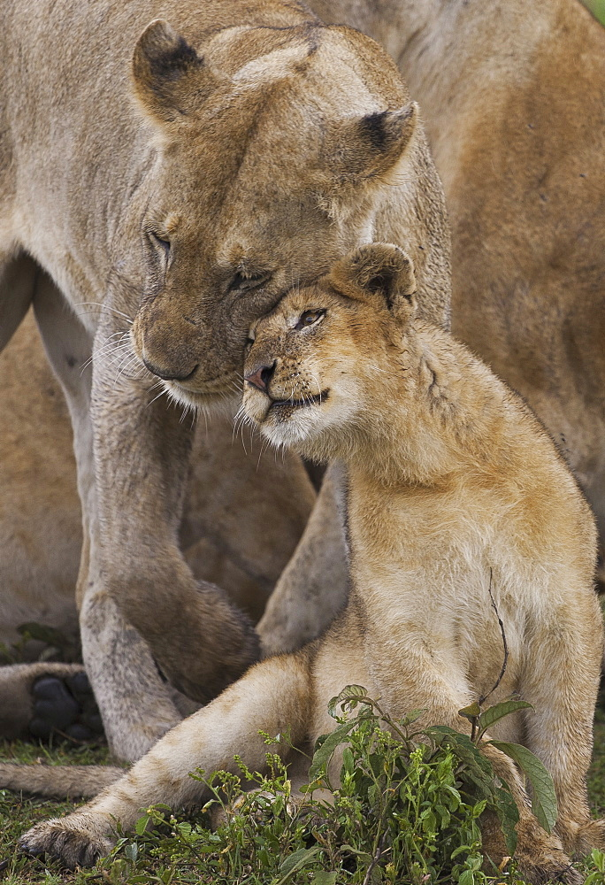 A lion cub and its mother, Panthera leo, rubbing cheeks and nuzzling in Serengeti National Park, Tanzania, Serengeti National Park, Tanzania,