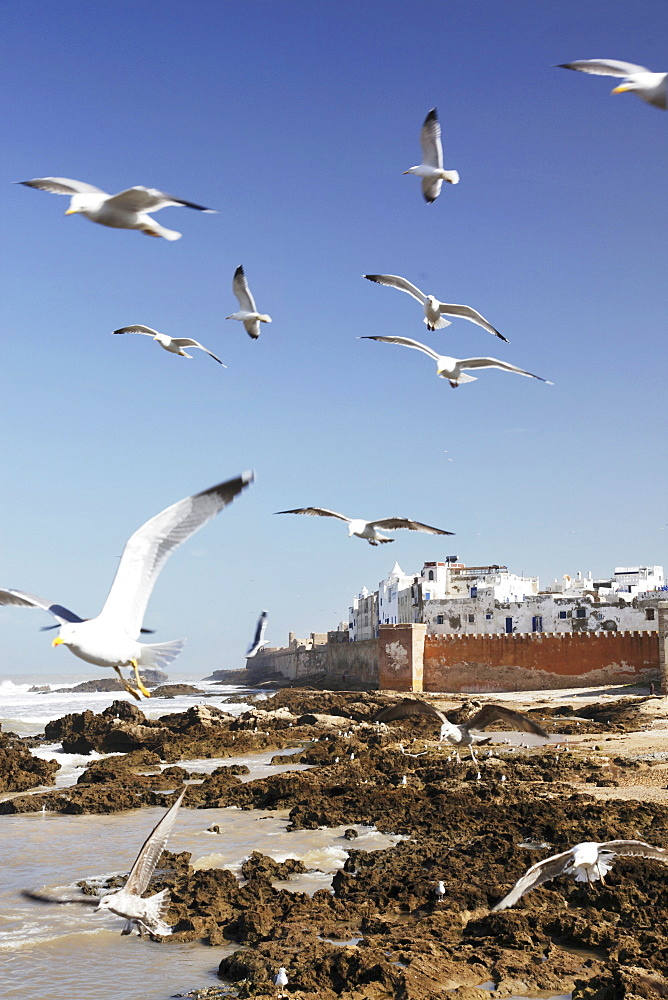 Seagulls circling the harbour mole in front of the old town of Essaiouira on the seaward side of the former Portuguese colony, Morocco