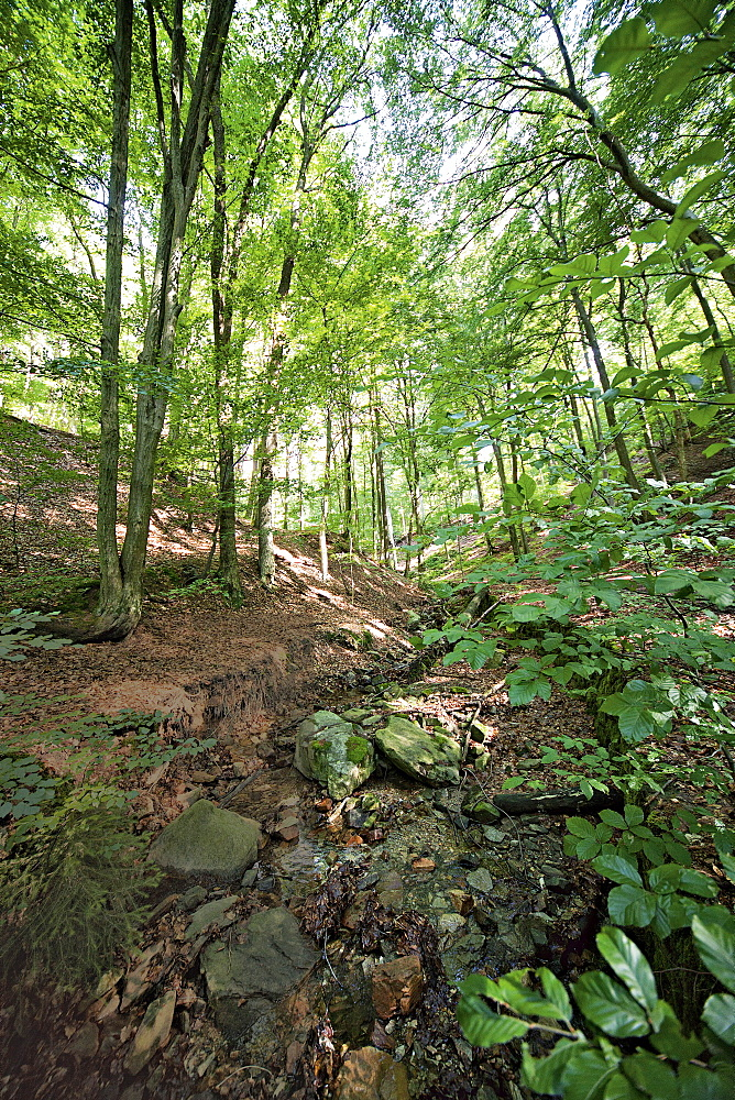 View of Bill ravine with trees in forest at Taunus, Hesse, Germany