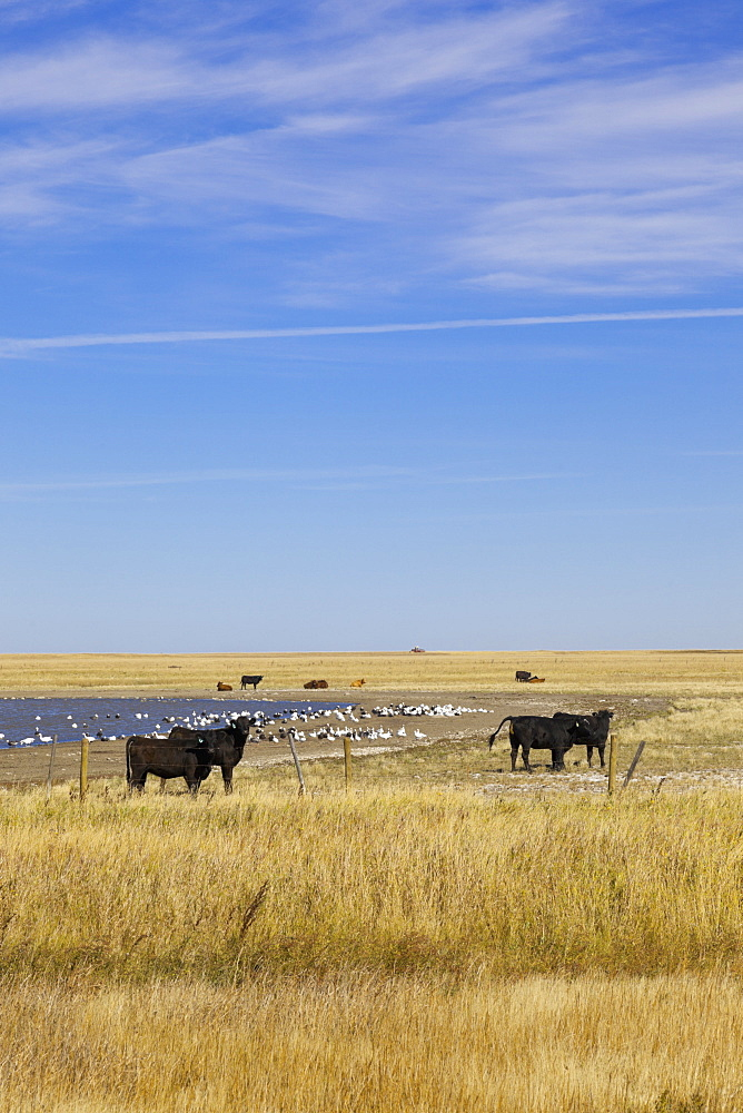 View of cattle on landscape near on Highway 15, Saskatchewan, Canada