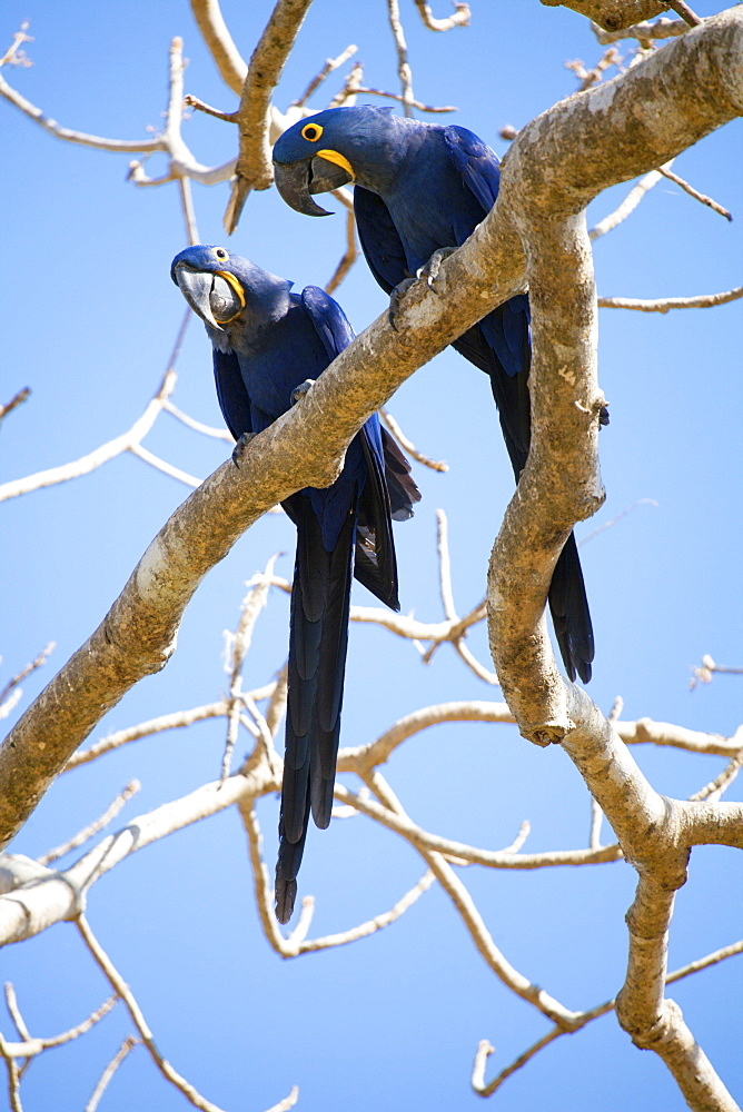Hyacinth macaws (Anodorhynchus hyacinthinus), Mato Grosso do Sul, Brazil, South America