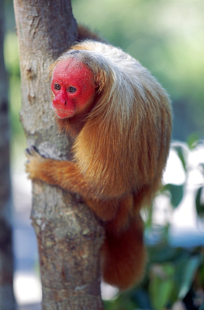 Bald uakari (red uakari monkey) (Cacajao calvus), conservation status vulnerable, Amazonas, Brazil, South America