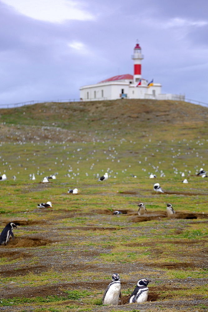 Magellanic penguins (Spheniscus magellanicus) nesting on an island near Punta Arenas, Patagonia, Chile, South America