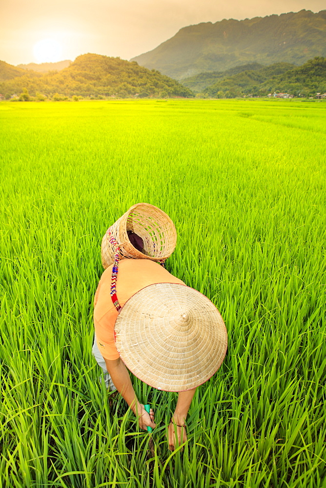 Farmer wearing a conical hat in rice fields, Mai Chau, Hoa Binh, Vietnam, Indochina, Southeast Asia, Asia