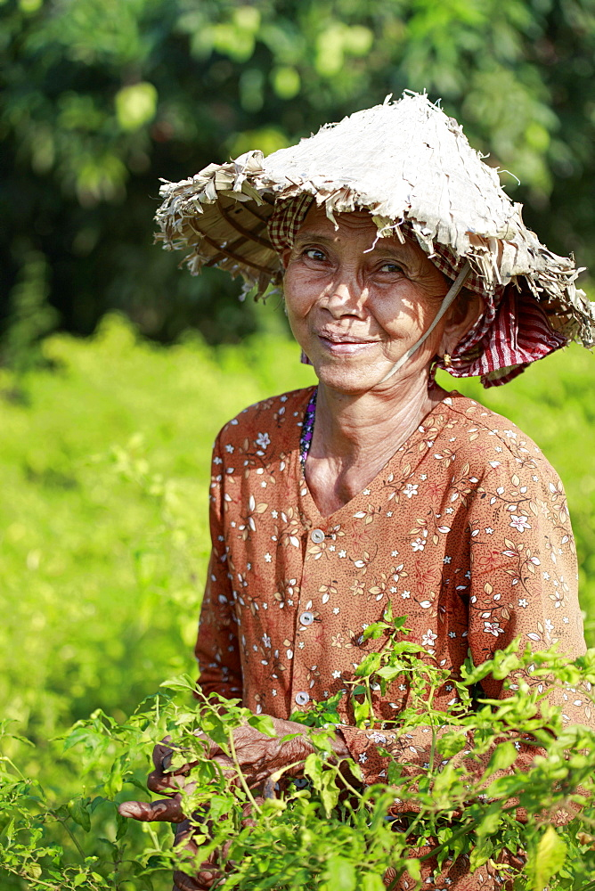 Woman in a conical hat harvesting chilli peppers in a field in rural Kampot, Cambodia, Indochina, Southeast Asia, Asia