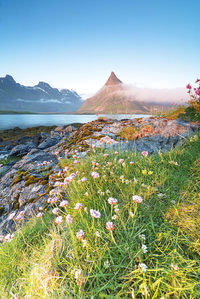 The midnight sun lights up flowers and the rocky peak of Volanstinden surrounded by sea, Fredvang, Moskenesoya, Lofoten Islands, Norway, Scandinavia, Europe