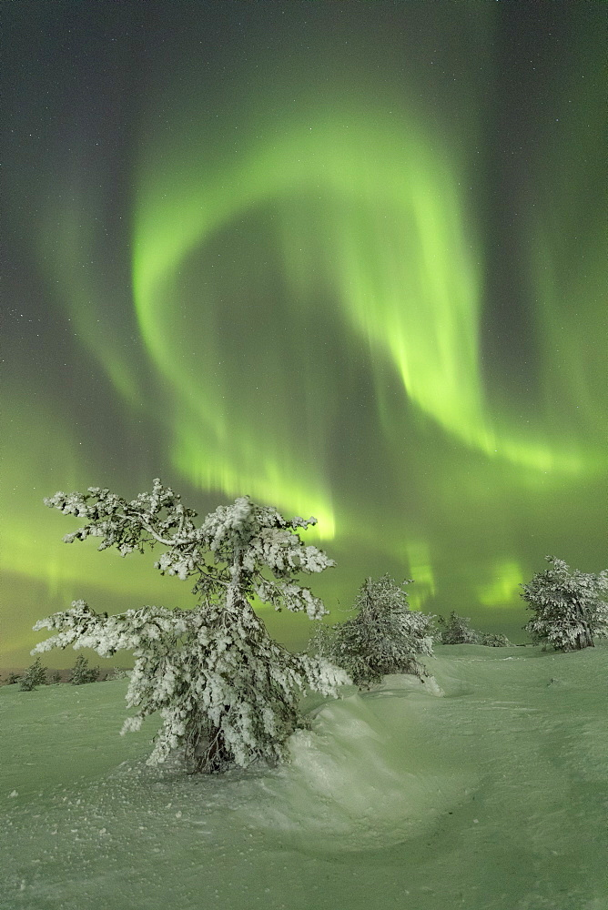 Northern Lights (Aurora Borealis) on the frozen tree in the snowy woods, Levi, Sirkka, Kittila, Lapland region, Finland, Europe