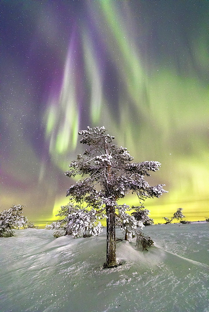 Northern Lights (Aurora Borealis) and starry sky on the frozen tree in the snowy woods, Levi, Sirkka, Kittila, Lapland region, Finland, Europe