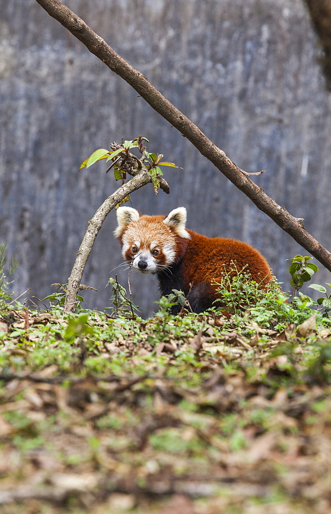 A lesser panda (red panda) in a wildlife reserve in India where tourists can observe this endangered animal, Darjeeling, India, Asia - 1179-239
