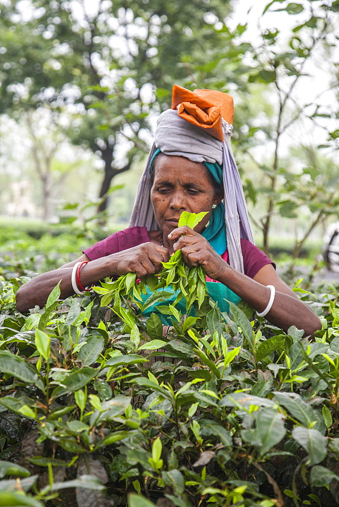 The collection of tea is really hard as in addition to having an excellent sight it is necessary to disentangle the dense twigs, Bagdogra, Darjeeling, India, Asia