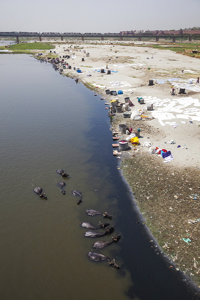 Water buffalo drinking from the Yamuna River, a tributary of the Ganges River, while people wash their clothes, Delhi, India, Asia