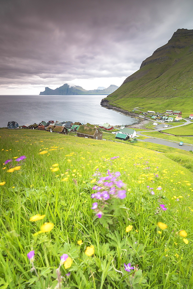 Wild flowers, Elduvik, Eysturoy Island, Faroe Islands, Denmark, Europe
