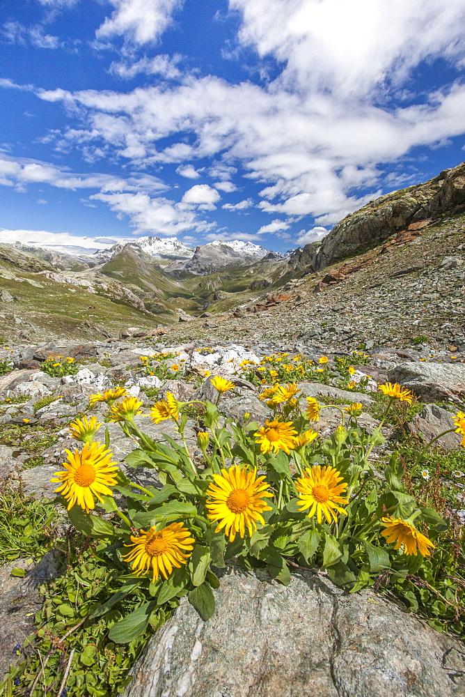 Yellow flowers frame the landscape around Lake Grevasalvas, Engadine, Canton of Grisons (Graubunden), Switzerland, Europe