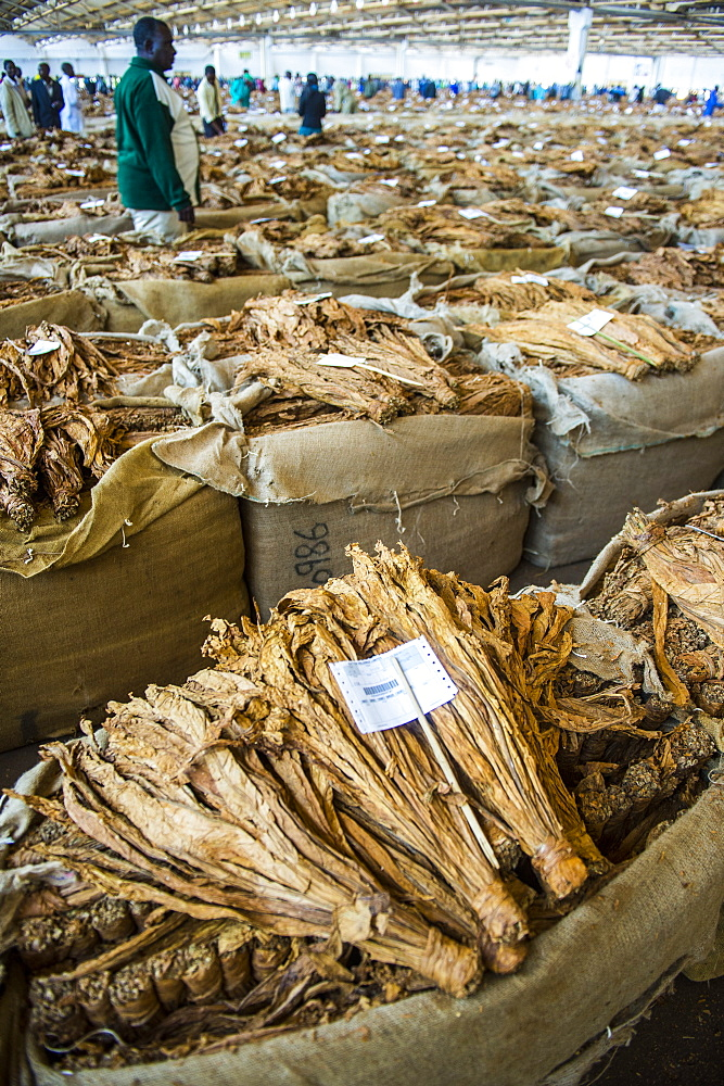 Tobacco auction in Lilongwe, Malawi, Africa