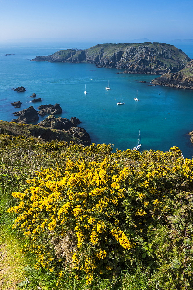 Gorse blooming on the west of coast of Sark with a view of the island of Brecqhou, Channel Islands, United Kingdom, Europe