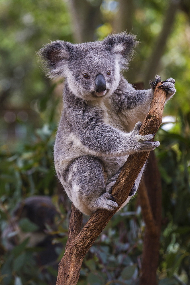 Koala (Phascolarctos cinereus), Lone Pine Sanctuary, Brisbane, Queensland, Australia, Pacific