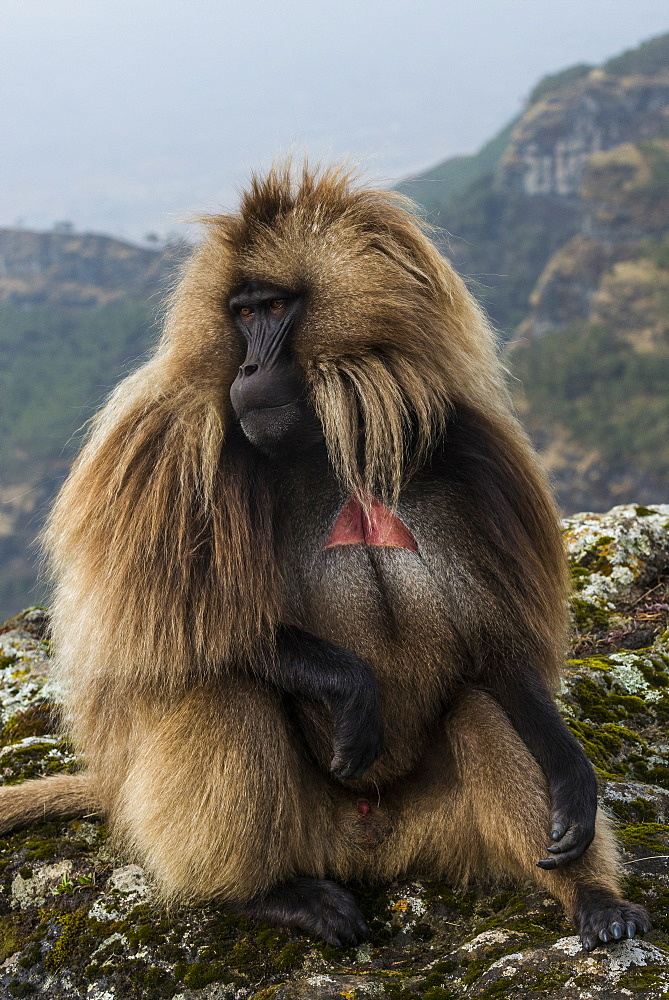 Male Gelada (Theropithecus gelada) in the Simien Mountains National Park, UNESCO World Heritage Site, Ethiopia, Africa