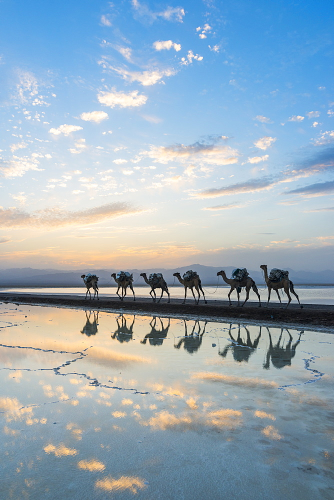 Camels loaded with pan of salt walking through a salt lake at sunset, Danakil depression, Ethiopia