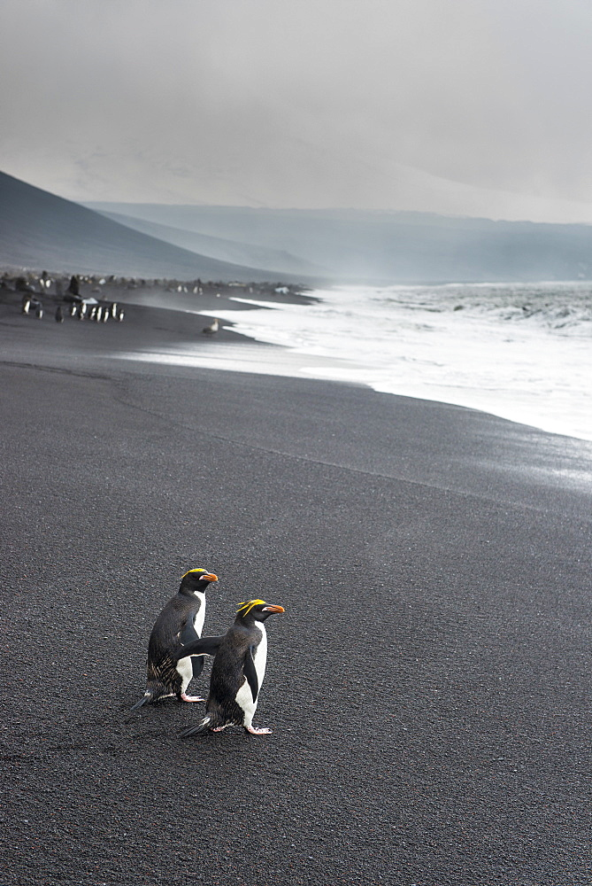 Southern rockhopper penguin group (Eudyptes chrysocome), Saunders Island, South Sandwich Islands, Antarctica, Polar Regions